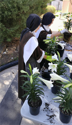 Replanting Easter lillies